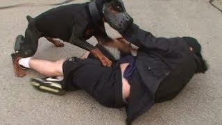 getlinkyoutube.com-Doberman Attack Training (K9-1.com)