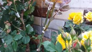 getlinkyoutube.com-HO W TO grafting Roses تطعيم الورد لتكون عشرين النواع نفس الشجره متربىكوه باغ سر