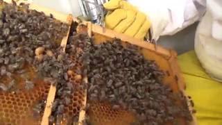 getlinkyoutube.com-Pčelarstvo - laka proizvodnja matica