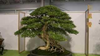 getlinkyoutube.com-2013 Taiwan Bonsai Exhibition(5),第18回全國盆栽展,九重葛 七里香 榕樹 櫻桃 象牙樹,Full HD 1080p