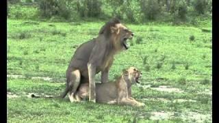 getlinkyoutube.com-Lions mating In Selous Game Reserve - Tanzania