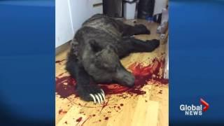 getlinkyoutube.com-Man shoots grizzly bear that broke into his home [Canada]