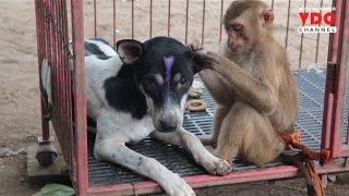 "getlinkyoutube.com-ประทับใจทั้งบาง! รักต่างสายพันธุ์ ""ลิงหงส์ฟ้า-หมาก่ำปุ้ง"" กินนอนด้วยกัน"