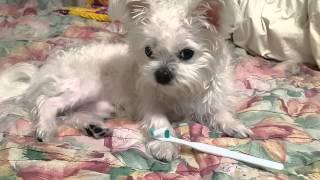 getlinkyoutube.com-동물병원 약처방 받을 준비된 강아지 모니 건강관리 끝~
