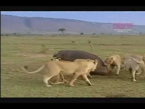 Mundo Animal- Leões atacam Hipopótomo.mp4