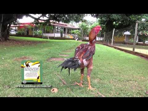 Galo Índio gigante - medindo um frango Índio gigante