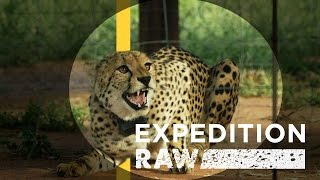 getlinkyoutube.com-Cheetah Matchmaking: Helping Big Cats Find A Mate | Expedition Raw