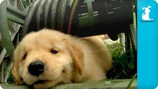 getlinkyoutube.com-Puppy Love - Golden Retriever Puppies