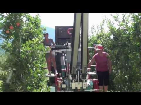 Cosecha de Manzana en Sur de Tirol / 40ha Huerto en Auer en Italia con Model CF105 / Part 1