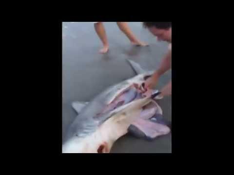 BIOLOGIA MAIS - Cesariana em tubarão na praia.