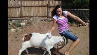 getlinkyoutube.com-Hilarious!! Crazy Ass Goat Terrorizes People in the streets! Real Life Mountain Dew attack Goat!