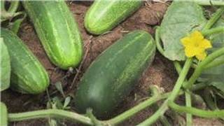 getlinkyoutube.com-Food Gardening : How to Plant Cucumbers in a Garden