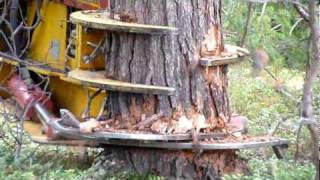 getlinkyoutube.com-CAT excavator cut pine trees 1