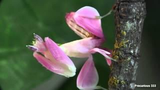 Orchid Mantis - Super PINK!