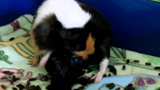 "getlinkyoutube.com-Guinea Pig ""Cookie"" Birthing 2 Pups"
