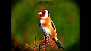 getlinkyoutube.com-chant chardonneret sauvage khalwi 2015 goldfinch تغريد حسون مقنين خلوي jilguero