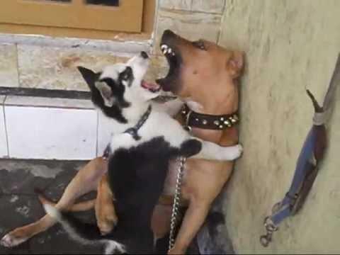 Siberian Husky Fights Pitbull