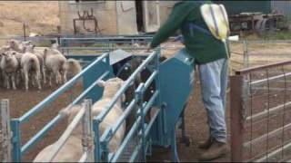 getlinkyoutube.com-Immobilizer Sheep Handler