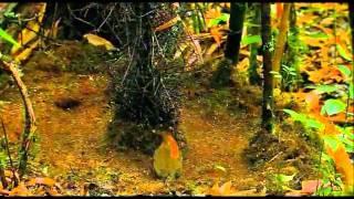 getlinkyoutube.com-oiseau jardinier