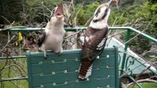 getlinkyoutube.com-Kookaburra laugh...just Laugh