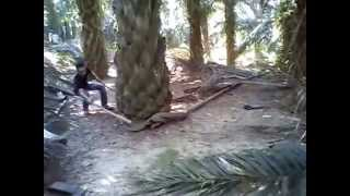 getlinkyoutube.com-Huge King Cobra Found at Malaysia without editing