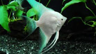 getlinkyoutube.com-Top 15 freshwater aquarium fish.