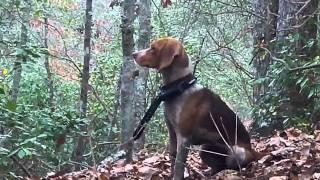 getlinkyoutube.com-hunting with dogs in charles city virginia