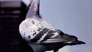 getlinkyoutube.com-The Homing Pigeon (1963, Robert Ford)