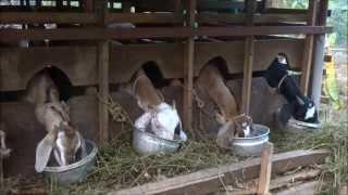 getlinkyoutube.com-A variety Goat Farm