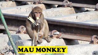 getlinkyoutube.com-Monkeys On Rail Tracks Busy Eating Mau