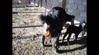 getlinkyoutube.com-ولادة الماعز (Goat parturition)