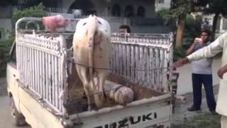 getlinkyoutube.com-danger cow for qurbani