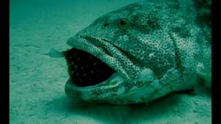 Puffer Fish Chokes Grouper (You've Got To See What Happens Next!)