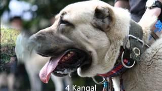 getlinkyoutube.com-Top 10 Guard Dogs!