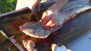 getlinkyoutube.com-How to fillet a Gummy Shark