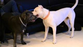 getlinkyoutube.com-crazy dogo argentino  and cane corso