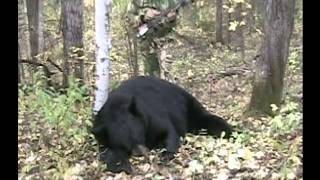getlinkyoutube.com-400 Pound Black Bear Hunting with Burnt Lake Outfitters Alberta Canada