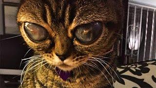 getlinkyoutube.com-11 Cats You Won't Believe Actually Exist!