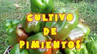 getlinkyoutube.com-Cultivo de pimientos en el huerto