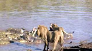 getlinkyoutube.com-Lions Battle Crocs Part 2
