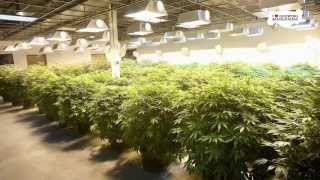How Much Marijuana Does One Plant Produce? A Pound