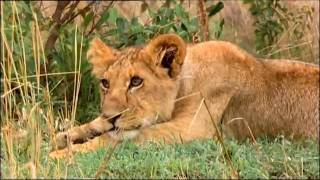 getlinkyoutube.com-Big Cat Week The Ridge Pride of Lions at 3 in the Afternoon - Masai Mara