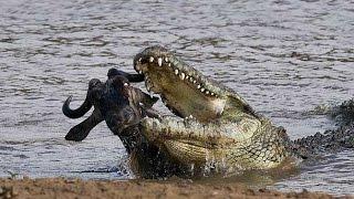 Wild Animals Documentary - Crocodile Attacks Discovery Documentary Animal HD