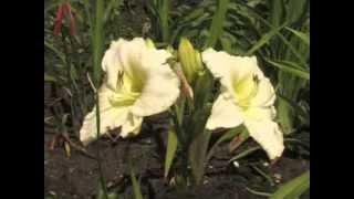 getlinkyoutube.com-Лилейники (часть 2). Многолетние цветы.