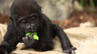 getlinkyoutube.com-Baby Gorilla Nayembi Thriving