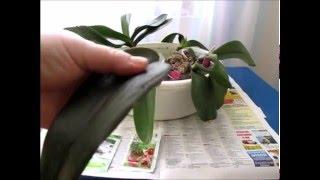 getlinkyoutube.com-Подкормка орхидей   корневином . Наращиваем корни
