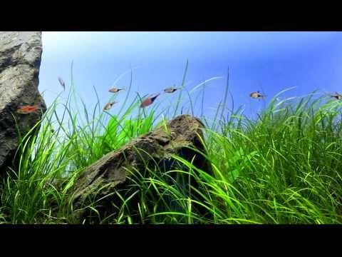 Nature aquarium. Iwagumi style