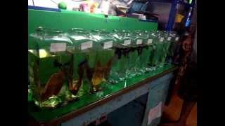 getlinkyoutube.com-น้ำแช่ใบพืชกับความสดของสีปลากัด
