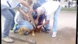 getlinkyoutube.com-Pit Bull ataca Chow-chow em Colider