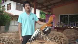 getlinkyoutube.com-คุณค่าไก่ชน ของคนพิษณุโลก